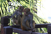 SANYA, CHINA - AUGUST 11: (CHINA OUT) <br /> <br /> Mass Propagation Of Wild Monkeys Brings More Animal Attacks <br /> <br /> Two monkeys search for food at Luhuitou Park on August 11, 2014 in Sanya, Hainan province of China. Dozens of wild monkeys multiplied to over 700 at Luhuitou Park and attacked tourists especially those who carried food once in a while.<br /> ©Exclusivepix