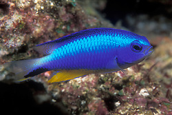 Sporting electric blue coloration that makes it appear to be plugged in to a neon light, the Andaman Damselfish, Pomacentrus alleni, is among the most conspicuous of small reef fish. Found primarily in the Andaman Sea, its range also includes the Indian Ocean sides of Sumatra and Java. Andaman Sea.