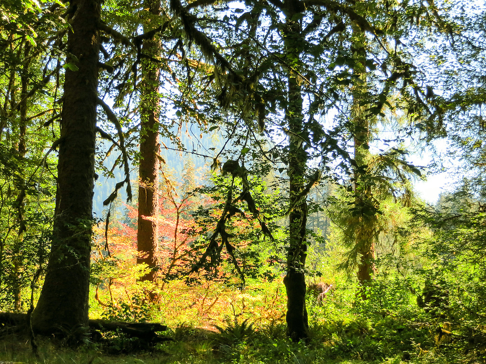 The beginning of fall color in Vine Maples along the Hoh River in Olympic National Park.