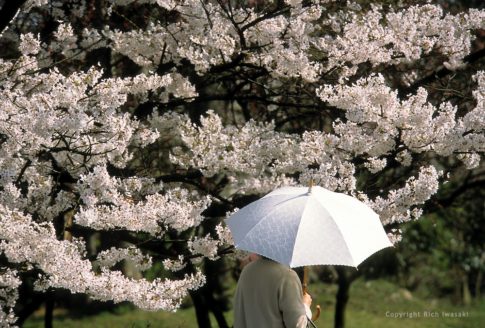 Visitor with umbrella passes cherry blossoms in springtime at the Kyoto Botanical Garden, Kyoto city, Kyoto Prefecture, Japan.