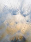Salisfy seeds at sunset, Madera County, California  2006