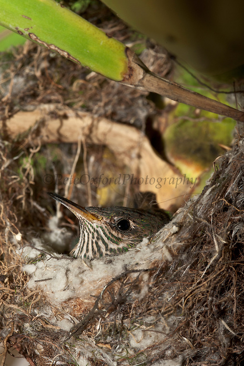 Black-tailed Trainbearer (Lesbia victoriae) chick in nest<br /> Quito<br /> Andes<br /> ECUADOR, South America<br /> HABITAT & RANGE: Subtropical or tropical moist montanes,  high-altitude shrubland, and heavily degraded former forest. Colombia, Ecuador & Peru