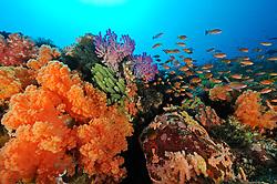 Dendronephthya klunzingeri und Pseudanthias sp., Stachelige Prachtkoralle und Anthias, Korallenriff mit orangen Weichkorallen und Anthias, colorful soft coral landschaft reef with anthias,  Bali, Indonesien, Indopazifik, Bali, Indonesia Asien, Indo-Pacific Ocean, Asia