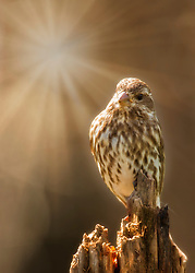 A Female Purple Finch On A Dead Tree Backlit From The Sun