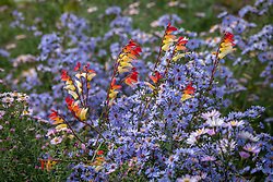 Ipomoea lobata syn. Mina lobata - Spanish Flag - growing over Symphyotrichum 'Little Carlow' (cordifolium hybrid) AGM - Michaelmas daisy (JB thinks so but check id)