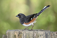 A Bird, The Rufous Sided Towhee, Striking A Curious Pose, Pipilo erythrophthalmus