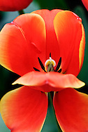 Darwin Hybrid Tulip 'Ad Rem' Keukenhof Spring Tulip Gardens, Lisse, The Netherlands.