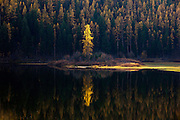 Tamarack tree on Salmon Lake, Montana.