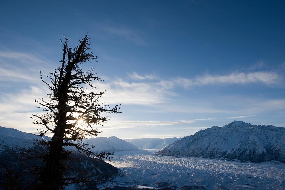 USA, Alaska,  Silhouette of gnarled spruce tree on summit of Lion's Head peak overlooking Matanuska Glacier and Chugach Range mountain peaks at dawn
