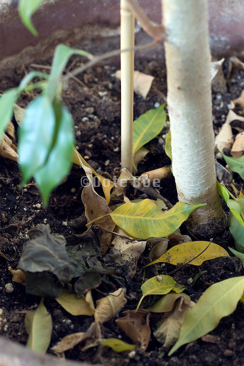 close up of a potted small tree plant with fallen leaves around it