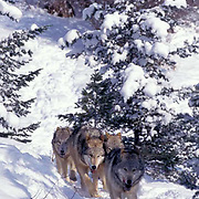Gray Wolf, (Canis lupus) Pack running. Winter. Rocky mountains. Captive Animal.