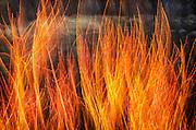 Reeds along the Merced River, Yosemite Valley, Yosemite National Park, California USA