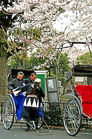 Yanaka Rickshaw with Sakura or cherry blossoms overhead - A cherry blossom is the flower of any of several trees of genus Prunus, particularly the Japanese Cherry, Prunus serrulata, which is called sakura in Japanese.  Japan has a wide variety of cherry blossoms with well over 200 types can be found there.[ The most popular variety of cherry blossom in Japan is the Somei Yoshino. Its flowers are nearly white, tinged with the palest pink, and bloom and fall within a week, before the leaves come out.