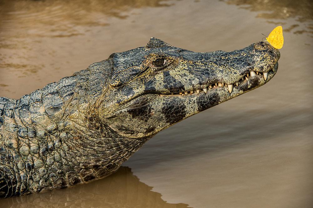 Yacare caiman (Caiman yacare)<br /> Pantanal, BRAZIL, South America<br /> Found Argentina, Brazil, Paraguay & Bolivia