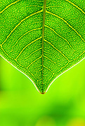A single green leaf from the Koko Crater Botanical Garden on Oahu.