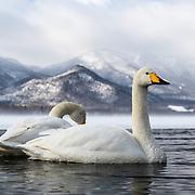 Whooper swans (Cygnus cygnus) visiting wintering grounds in Hokkaido, Japan