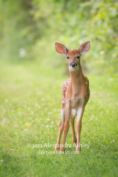White-tailed deer fawn, Odocoileus virginianus, pauses after prancing across woodland trail.