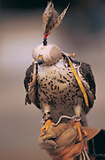 Saker Falcon for hunting<br /> (Falco cherrug)<br /> used by Kazakhs for hunting<br /> Western Mongolia