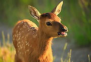 Elk calf near Gold Creek, Montana.