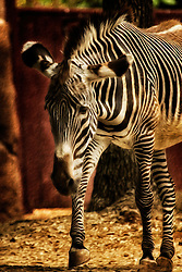 The Grévy's zebra, also known as the imperial zebra, is the largest extant wild equid and the largest and most endangered of the three species of zebra, the other two being the plains zebra and the mountain zebra