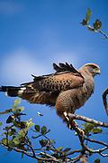 Aquidauana_MS, Brasil...Ave de rapina no galho de uma arvore da fazenda Rio Negro no Pantanal...The bird of prey on the branch tree in the Rio Negro farm in Pantanal...Foto: JOAO MARCOS ROSA / NITRO