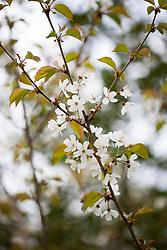 Wild cherry blossom. Prunus avium