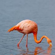 Great Flamingo (Phoenicopterus rubber) feeding on shrimp. Galapagos, Ecuador.