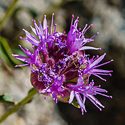 Purple flower. Piute Pass Trail (9.7 miles, 2200 ft gain) in John Muir Wilderness, Inyo National Forest, Mono County, California, USA.