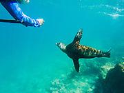 A tourist photographing a Galapagos Sea Lion pup (Zalophus wollebaeki) swimming underwater, Santa Fe Island, Galapagos Islands, Ecuador