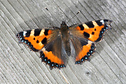Small Tortoiseshell Butterfly, Aglais urticae, Kent, UK, wings open, resting on wooden fence, colourful