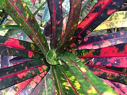 Croton (Codiaeum variegatum) Plant, Iao Valley State Park, Maui, Hawaii, US