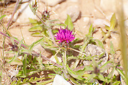 Star thistle (Centaurea calcitrapa) flower. Photographed in Israel in March