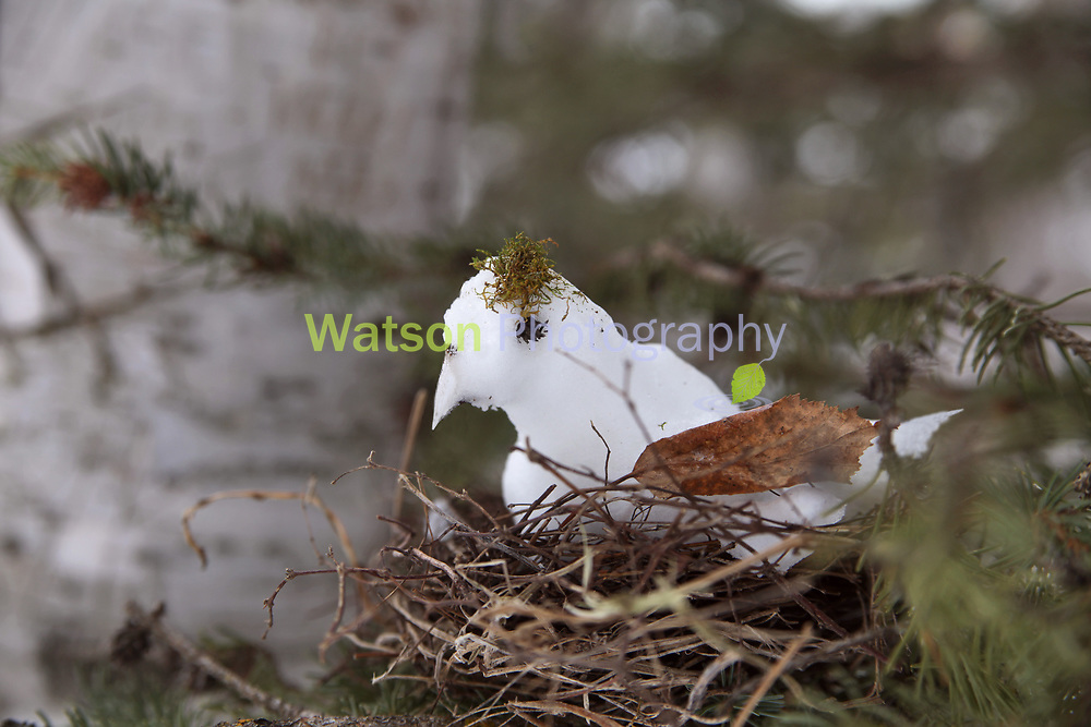 Snow Bird of Winter