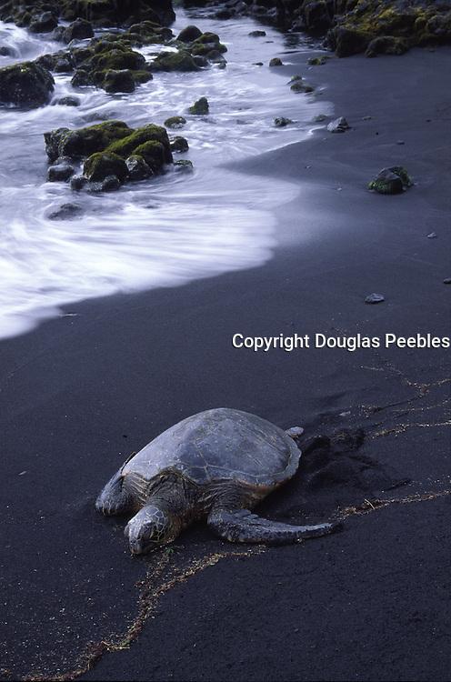 Hawksbill Turtle, Punalu'u Black Sand Beach, Island of Hawaii<br />