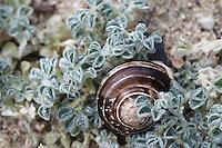 Sea Medick (Medicago marina)and a sea shell, Falassarna, Crete