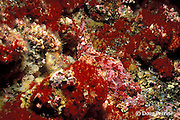 Pacific spotted scorpionfish, Scorpaena mystes, in red zoanthids, Galapagos Islands, Ecuador,  ( Eastern Pacific Ocean )