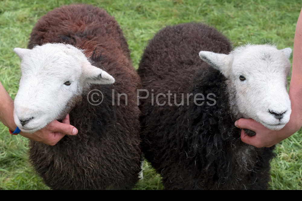 Hill farmers showing their Herdwick lambs at Borrowdale Shepherds Meet in Rosthwaite village, Cumbria on 16 September 2018. Herdwick sheep are the native breed of the central and western Lake District and live on the highest of England's mountains. They are extremely hardy and are managed in the traditional way on the Lake District fells that have been their home for generations.