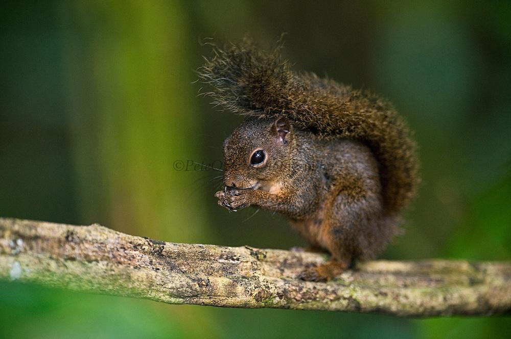Amazon Red Squirrel (Sciurus sp.)<br /> Cocaya River. Eastern Amazon Rain Forest. Border of PERU &ECUADOR. South America