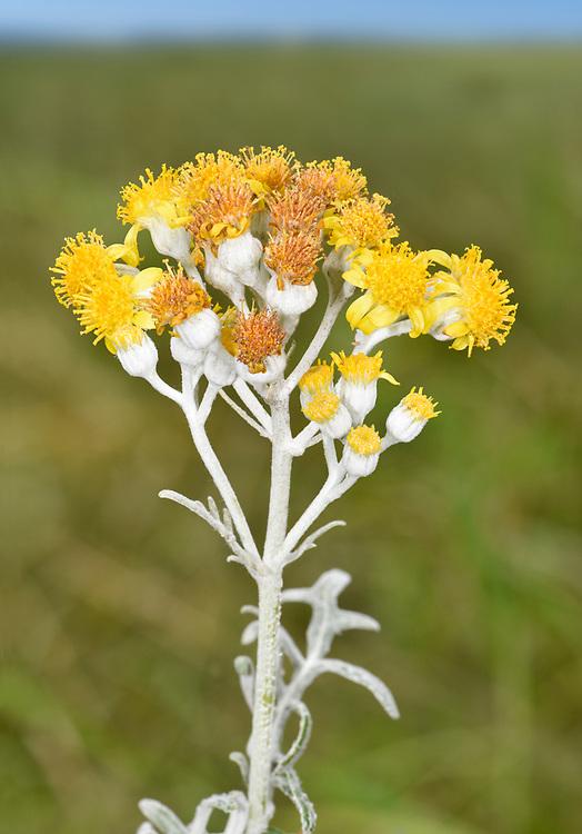 Silver Ragwort - Jacobaea maritima