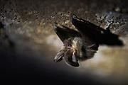 Brown long-eared bat (Plecotus auritus) wintering in basement, near Limbaži, Vidzeme, Latvia Ⓒ Davis Ulands | davisulands.com
