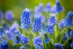 Muscari aucheri 'Blue Magic' - Grape hyacinth