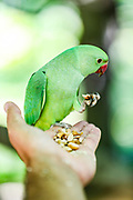 "A wild green parakeet feeds from a person's hands. Wild green parakeets are seen Interacting with people in St James' Park in central London on Monday, June 22, 2020. <br /> Dubbed ""posh pigeons"" by unimaginative Londoners, these brilliant green parakeets stand out among the fauna of Northern Europe's mostly grey cities. The story of how they ended up in London is a matter of some discussion and plenty of myth. <br /> Unverified various sources say that parakeets escaped from the branch of Ealing Studios used for the filming of The African Queen ""Isleworth Studios"" in 1951. Parakeets escaped from damaged aviaries during the Great Storm of 1987. A pair were released by Jimi Hendrix in Carnaby Street, London, in the 1960s. (Photo/ Vudi Xhymshiti)"