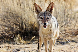 Black-Backed Jackal at Etosha National Park, Namibia, Africa
