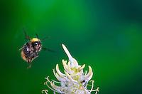 Insect in Flight, High Speed Photographic Technique Bumblebee in Flight, Switzerland Bumble Bee In Flight, Hymenoptera, Switzerland Image by Andres Morya