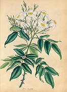 ROSA moschata, Musk Rose From the book Roses, or, A monograph of the genus Rosa : containing coloured figures of all the known species and beautiful varieties, drawn, engraved, described, and coloured, from living plants. by Andrews, Henry Charles, Published in London : printed by R. Taylor and Co. ; 1805.
