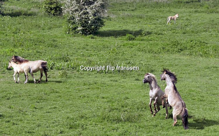 Nederland,Ooiojpolder, 13-5-2020 Een groep wilde konikpaarden, koniks,  staan bij een bijna uitgedroogde poel,waterpoel, in de uiterwaarden van de rivier de Waal, Rijn . Twee hengsten vechten om het leiderschap van de harem, kudde . De aanhoudende droogte zorgt opnieuw voor een probleem met het water.  Konik,wilde, paarden, dieren, grazer, grote, konikpaard,konikpaarden, strijd, leiderschap . Foto: Flip Franssen