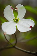 Dogwood tree blossom in full bloom in the woods at my house in upstate, NY.