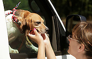 Volunteer Lisa Spadaro greets Liberty, one of the beagles rescued by Pets Alive, at the animal sanctuary in the Town of Wallkill on Friday, July 2, 2010. Spadaro, who is from Trumbull, Conn., has two beagles of her own, including one she adopted from Pets Alive.