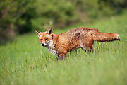 Adult red fox standing in grassland