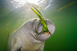 Florida manatee, Trichechus manatus latirostris, calf feeding on seagrass, , endangered subspecies of West Indian manatees, Crystal River National Wildlife Refuge, Kings Bay, Florida, Gulf of Mexico, Caribbean Sea, Atlantic Ocean